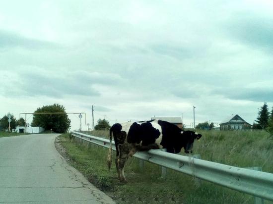 В Самарской области корова застряла на отбойнике