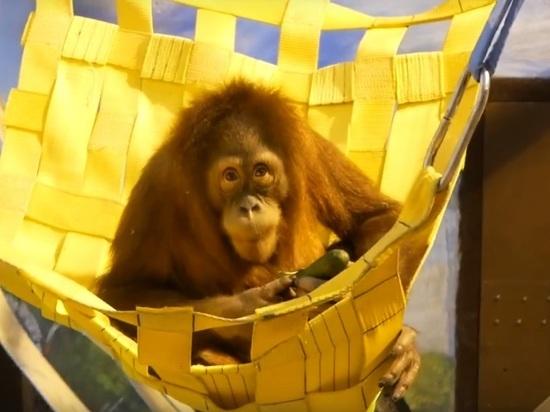 (0+) Братья-орангутаны поселились в нижегородском зоопарке «Лимпопо»