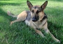 Для полицейских собак закупят имитаторы кокаина, героина и амфетамина
