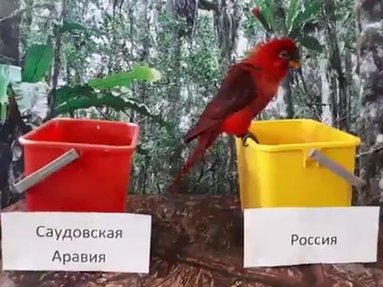 Костромские попугаи предсказали победу России в первом матче ЧМ по футболу