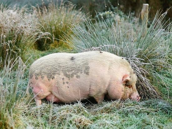 В Золотухино проходит митинг против строительства свинокомплекса «Мираторг»