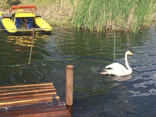 В парке в Омске поселили пару лебедей