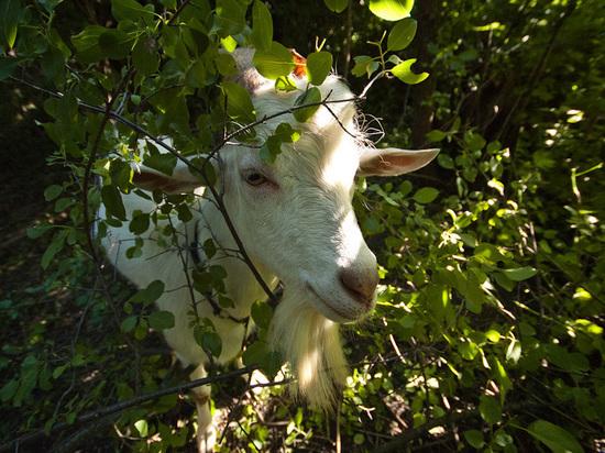 Ульяновские спасатели вытащили козу из колодца
