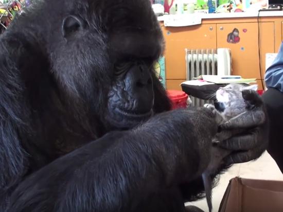 Скончалась знаменитая горилла Коко, освоившая язык жестов