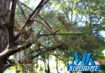 В парке им. Гуськова в Оренбурге деревья уничтожают вредители