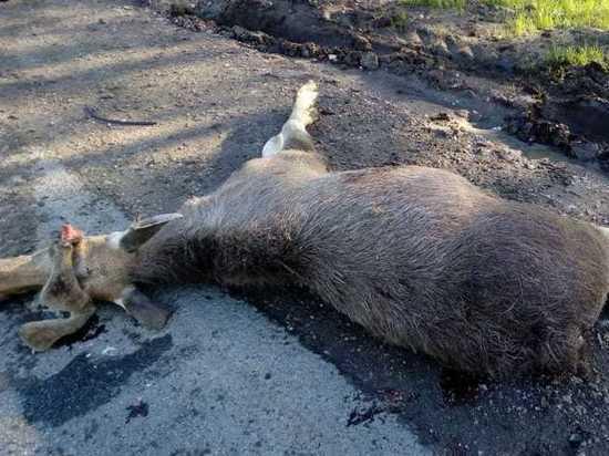 В Бердске грузовик насмерть сбил взрослого лося