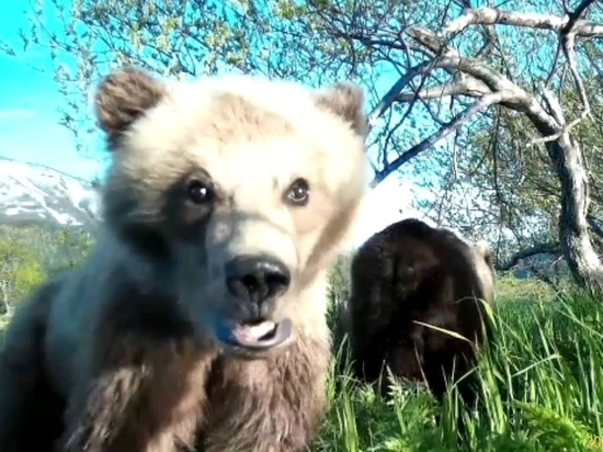 Камчатские медведи охотно делают селфи