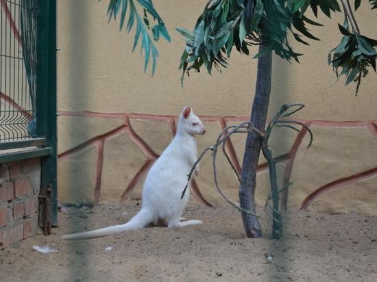 Редчайший вид кенгуру - альбинос родился в зоопарке Калуги