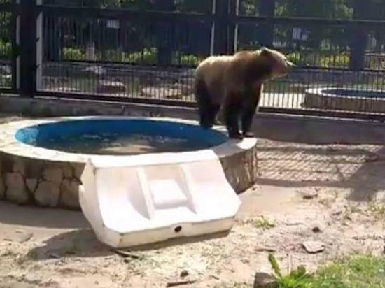 Медведей в воронежском зоопарке от жары спасают мороженым