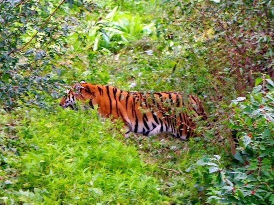 Тигр вышел на оживленную трассу в Приморье
