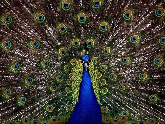 Редкая птица: в Петрозаводске продают павлинов