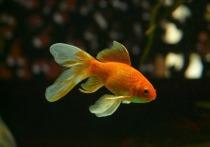 Обязательную маркировку аквариумных рыбок горячо обсудили в Госдуме