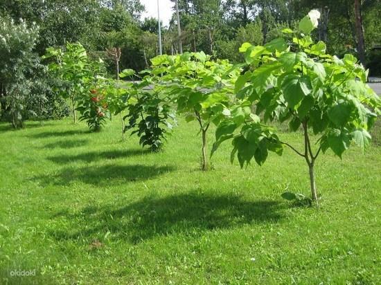 Как вырастить «макаронное дерево»?