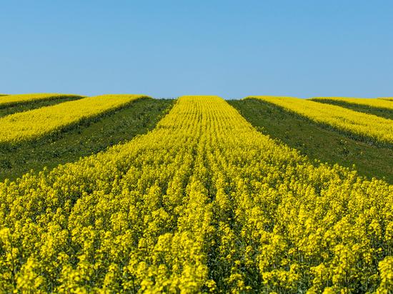 С помощью ТГУ томские фермеры рассчитывают в этом году удвоить сбор пшеницы и рапса