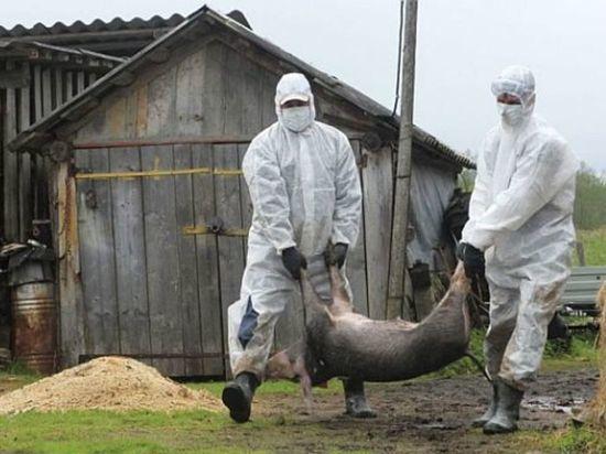 В Тверской области обнаружили вирус африканской чумы