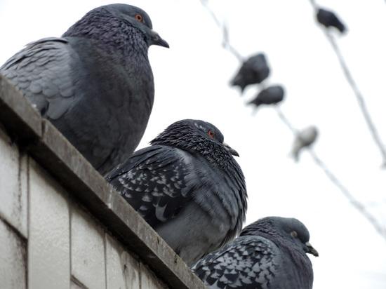 Ни одной хлебной крошки: власти Краснознаменска придумали способ прогнать голубей