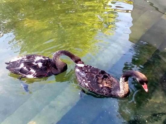 В казанском парке «Черное озеро» собака загрызла лебедя Одиллию