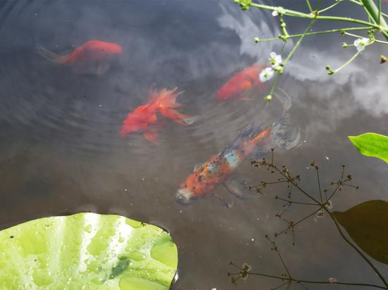 В Ботаническом саду ВятГУ появились золотые рыбки
