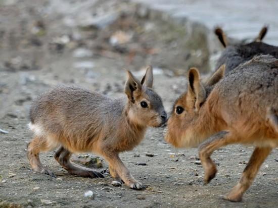 Впермском зоопарке возникла пара патагонских мар