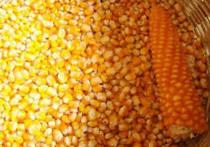 1,9 тонн кукурузы отправилось на карантин в Тульской области