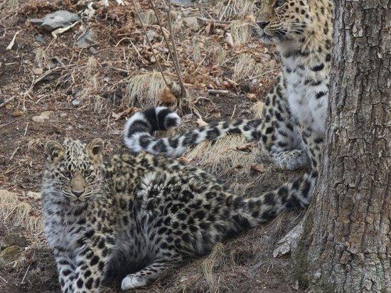 Диких кошек сосчитали на «Земле леопарда»
