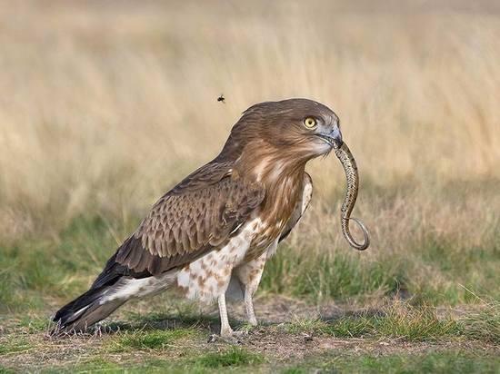 Редкую птицу обнаружили в Подмосковье в момент охоты на гадюку