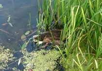 Массовая гибель уток и рыб в Лефортовском пруду: экологи в шоке