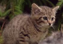 Британские специалисты из зоозащитной организации Wildcat Haven, нашли и выходили двух котят, принадлежащих к одному из самых малочисленных в мире биологических видов на планете