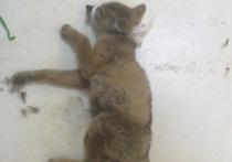 Новосибирские волонтеры спасают лисенка с пулевым ранением