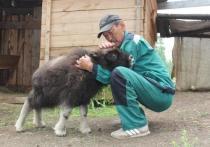 В Якутском зоопарке поселился детеныш овцебыка