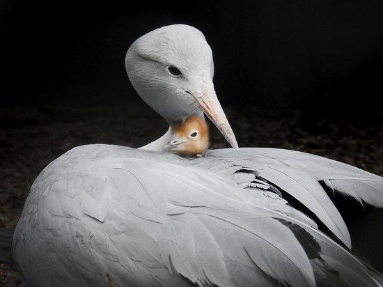 В России родился редкий журавль Стенли: орнитологи в восторге