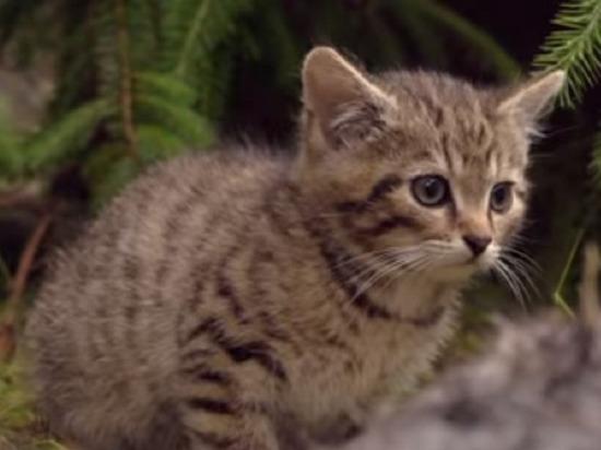 Редчайших котят спасли в Шотландии: милое видео с кровавым сюрпризом