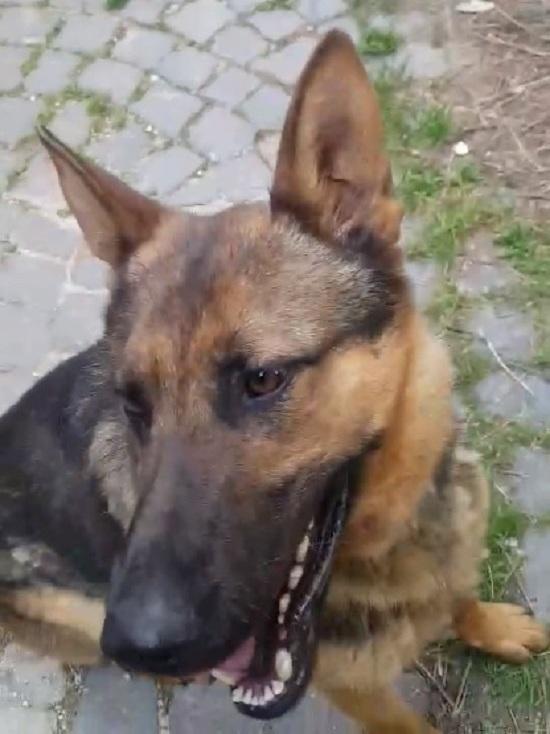Италия оплакивает знаменитую собаку-спасателя: Каоса подло отравили