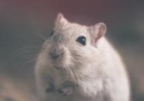 Вымогал с помощью крысы: полицейские разоблачили клиента, шантажировавшего кафе