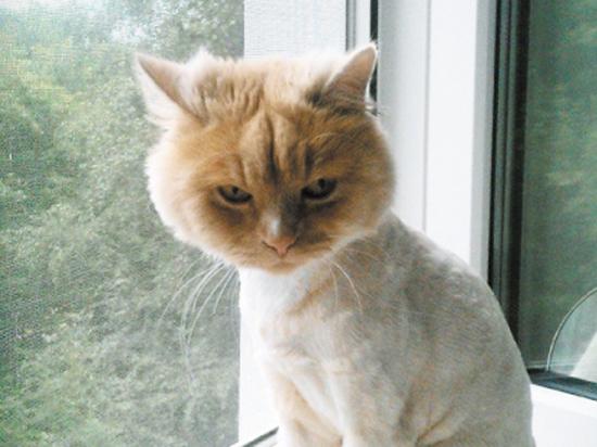 Стоит ли брить котов в жару: как помочь братьям меньшим