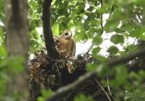 У орлов-карликов в Воронежском заповеднике вывелись двое птенцов