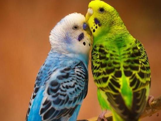 Новосибирцы предпочитают волнистых попугаев другим видам