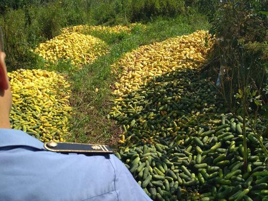 Житель Луховиц выбросил на свалку тонну огурцов: «Переросли»