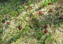 Экологи объяснили появление редкой клюквы в Подмосковье