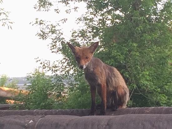Рыжие и дерзкие: в Туле и области лисы не боятся людей