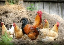 Алтайский Россельхознадзор предупреждает о вспышке птичьего гриппа в стране