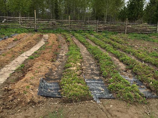 В Югре появятся ягодные поля