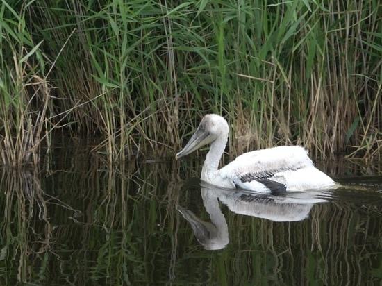 Пеликаны и черные аисты стали новой достопримечательностью Алтайского края