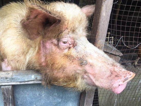 Чуму свиней не пустят в Россию