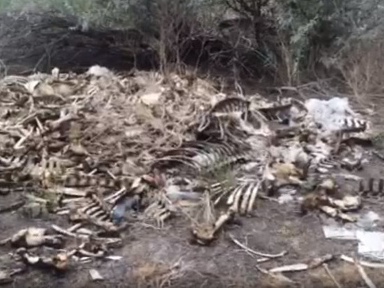 Рога и копыта: в Астрахани нашли коровье кладбище
