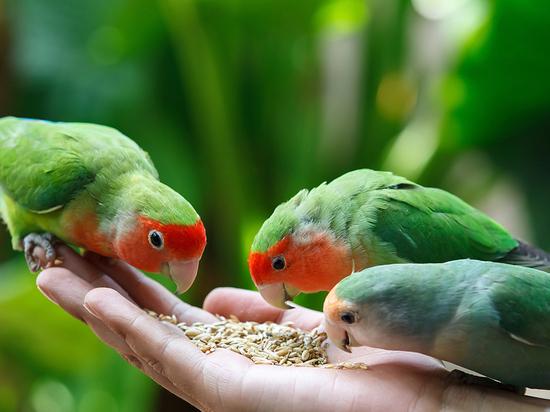 Вся правда о неразлучниках: эти птички любят похулиганить