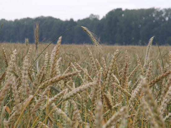 В Башкирии излишки зерна переработают микроорганизмы