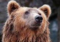 Медведь проник на участок агронома Тимирязевской академии в Подмосковье