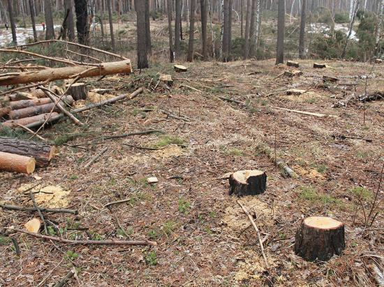 Массовые вырубки «защитных лесов» Томска продолжаются