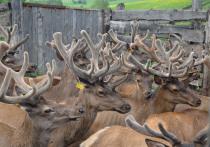На Алтае на конгресс соберутся оленеводы из 12 стран